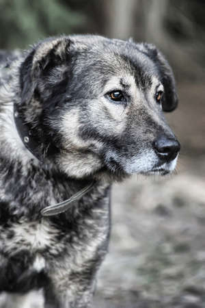 large gray mongrel photo
