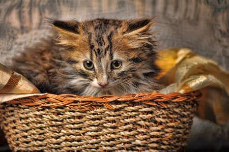 felis silvestris catus: kitten in a basket