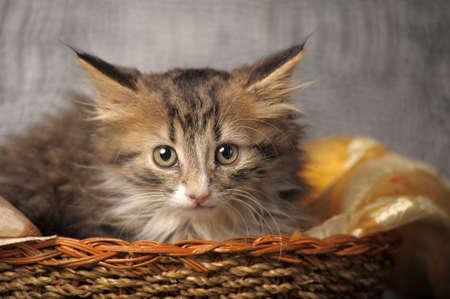kitten in a basket photo