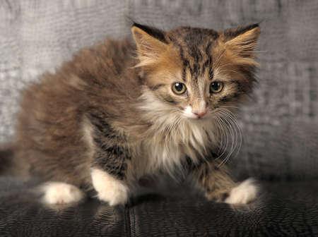 buena postura: Siberia gatito Foto de archivo