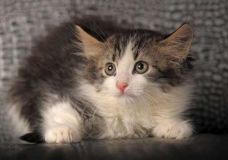 Siberian kitten Stock Photo - 11621521