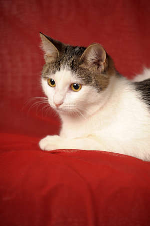 white and gray cat on a red background photo