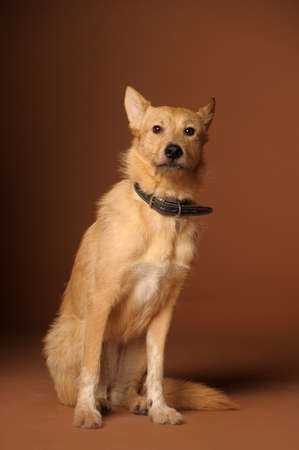 red mongrel half-breed dog Stock Photo - 11476602