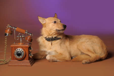 red mongrel half-breed dog and antique wooden telephone Stock Photo - 11476558