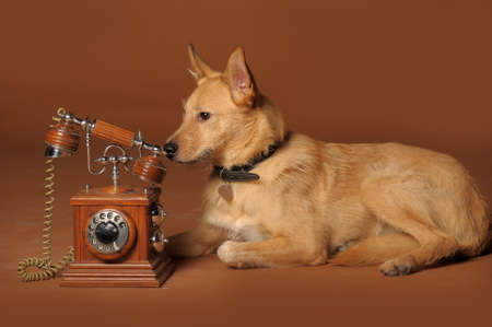 red mongrel half-breed dog and antique wooden telephone Stock Photo - 11476586