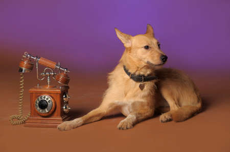 red mongrel half-breed dog and antique wooden telephone Stock Photo - 11476634