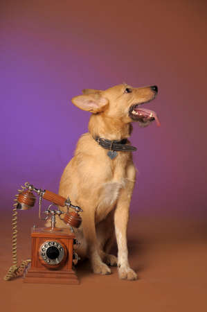 red mongrel half-breed dog and antique wooden telephone Stock Photo - 11476630