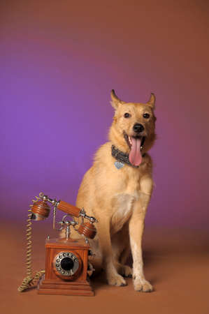 red mongrel half-breed dog and antique wooden telephone Stock Photo - 11476557