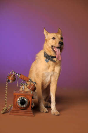 red mongrel half-breed dog and antique wooden telephone photo