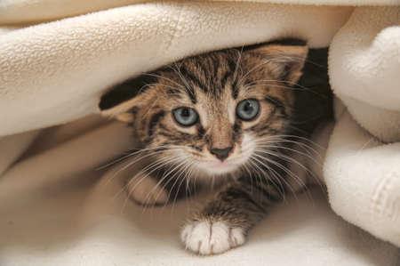 garra: gato que asomaba desde debajo de la manta Foto de archivo