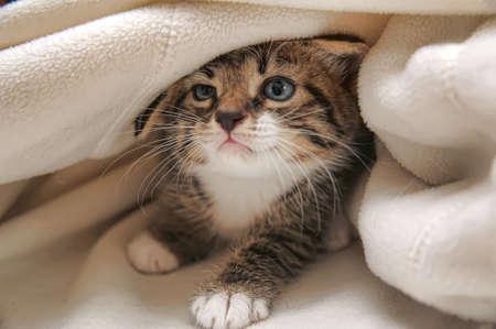 furry animals: gato que asomaba desde debajo de la manta Foto de archivo