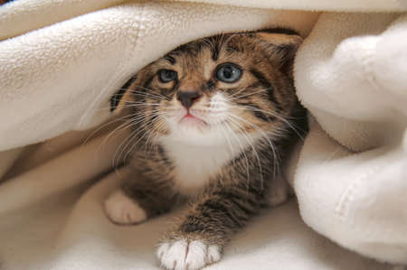 funny cats: kitten peeping out from under the blanket