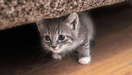 The kitten gets out from under a sofa photo
