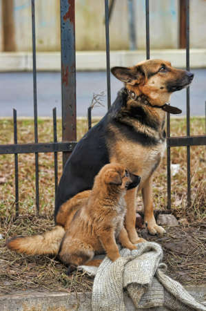 Half-breed dog and puppy shepherd dog on the street Stock Photo - 11620502