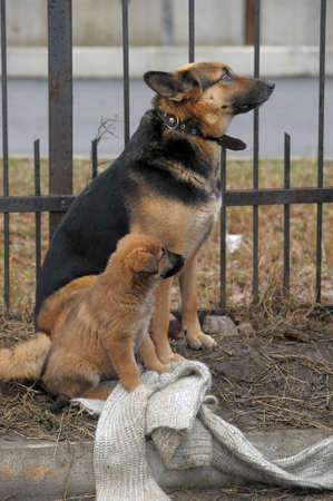Half-breed dog and puppy shepherd dog on the street Stock Photo - 11620513