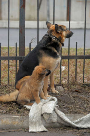 Half-breed dog and puppy shepherd dog on the street Stock Photo - 11620512