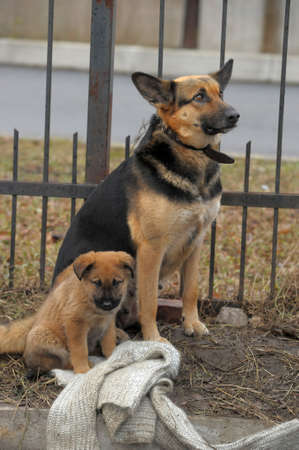 Half-breed dog and puppy shepherd dog on the street photo