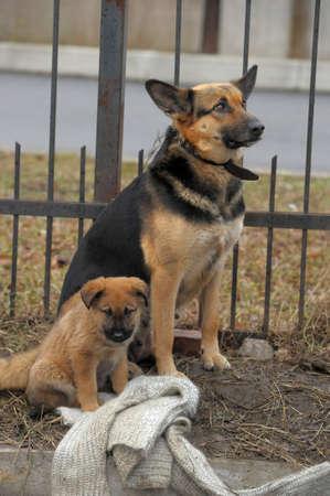 half breed: Half-breed dog and puppy shepherd dog on the street