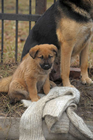 Half-breed dog and puppy shepherd dog on the street Stock Photo - 11620511