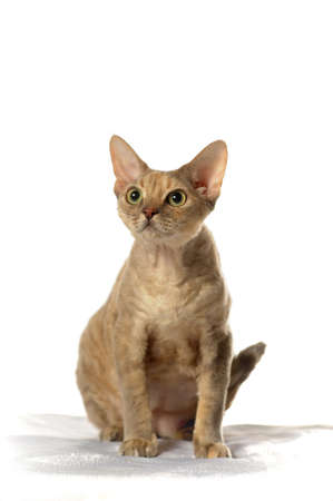 Cat Devon Rex on white background photo