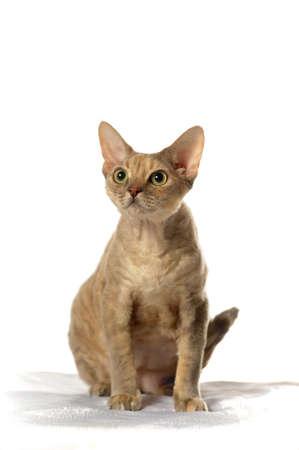 Cat Devon Rex on white background Stock Photo - 11617324