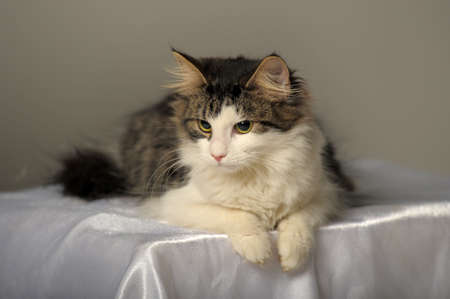 Norwegian Forest cat photo