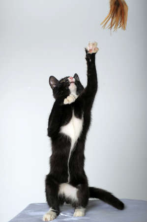 young black and white cat is standing on its hind legs photo