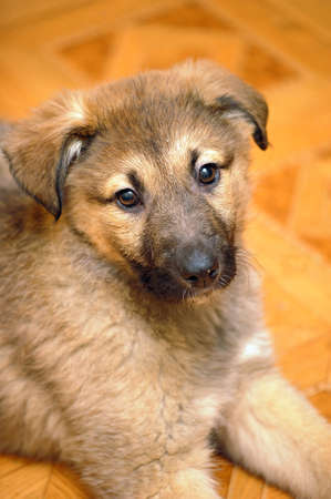 Shepherd puppy Stock Photo - 11620521