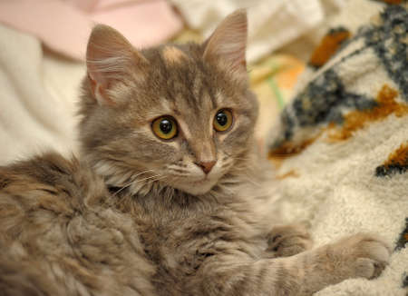 fluffy gray kitten photo