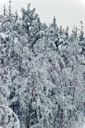 Wonderland quiet winter frozen forest  photo