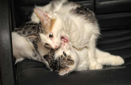 two kittens playing fighting Stock Photo - 11620504