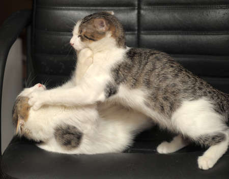 romp: two kittens playing fighting Stock Photo