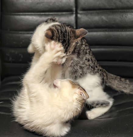 two kittens playing fighting Stock Photo - 11620525