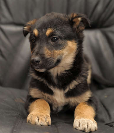 Shepherd puppy photo