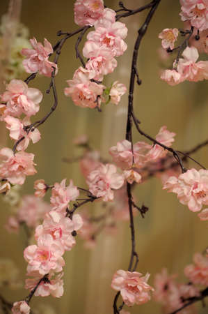 peach tree: pink flowers on the branches