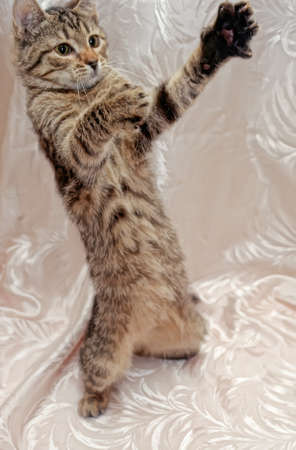 striped kitten is standing on its hind legs Stock Photo - 11868632
