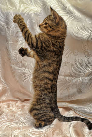 striped kitten is standing on its hind legs photo