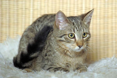 Brown striped cat of the house photo