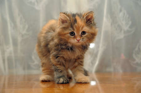 The small amusing fluffy kitten photo