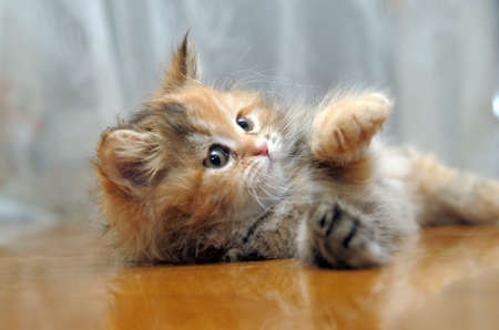 The small amusing fluffy kitten plays Stock Photo - 12676047