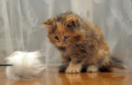 The small amusing fluffy kitten plays photo