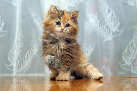 The small amusing fluffy kitten plays Stock Photo - 12676048