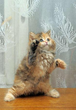 The small amusing fluffy kitten plays Stock Photo - 12676053