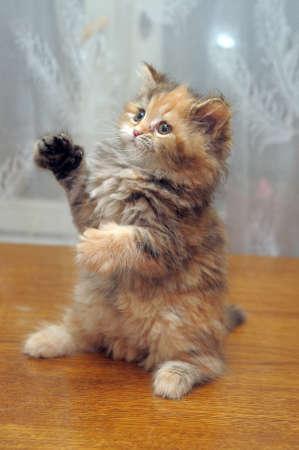 Небольшой забавный пушистый котенок играет