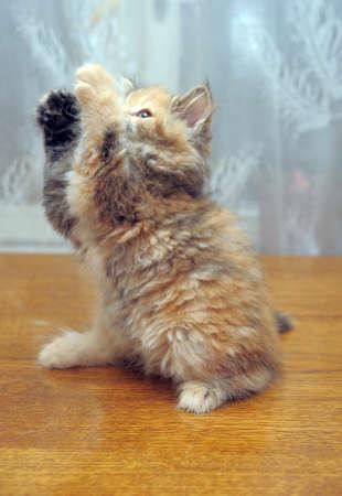 The small amusing fluffy kitten plays Stock Photo - 12676055