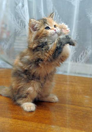 The small amusing fluffy kitten plays photo