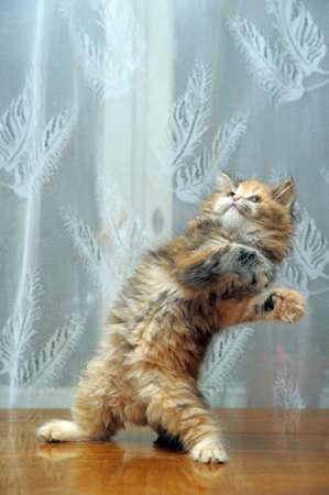 gato jugando: El peque�o gatito esponjoso divertida juega