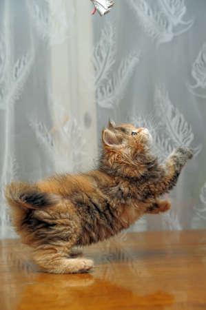 El peque�o gatito esponjoso divertida juega Foto de archivo - 12676050