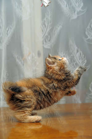 The small amusing fluffy kitten plays Stock Photo - 12676050