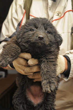 Giant Schnauzer is a small puppy photo